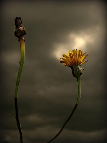 Цветок невинная любовь