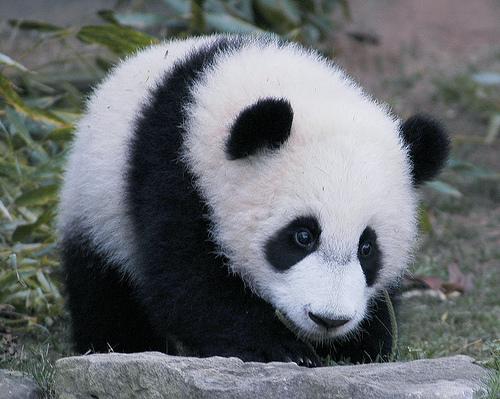 wars panda bear - photo #4